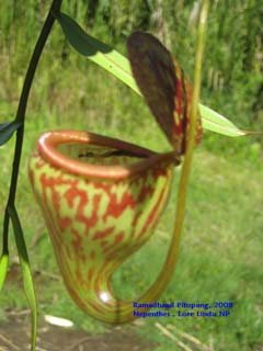 Nepenthes pitopangii Newspec. from Lore Lindu N.Park, Central Sulawesi, Indonesia